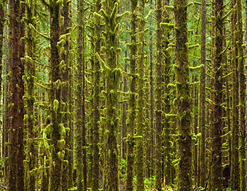 Trees covered in vegetation in the Olympic National Park