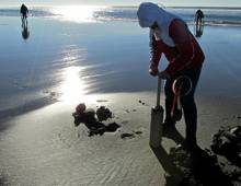Woman digging clams in the sun on the beach at Seabrook