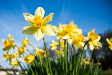 Celebrate Spring at Seabrook's Daffodil Days Festival!